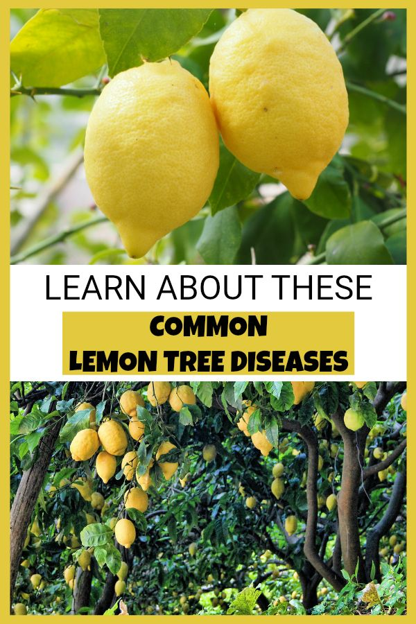 Common Diseases Of Lemon Trees Gardening Channel Lemon Tree Home Vegetable Garden Fruit Garden