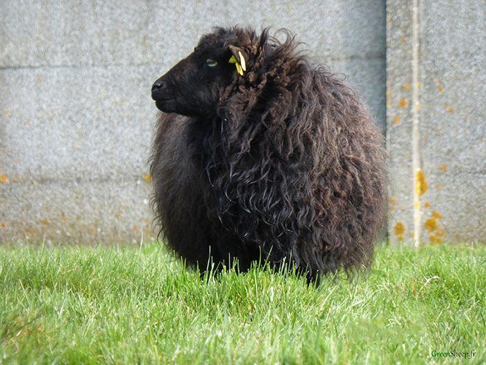 un mouton de chez GreenSheep