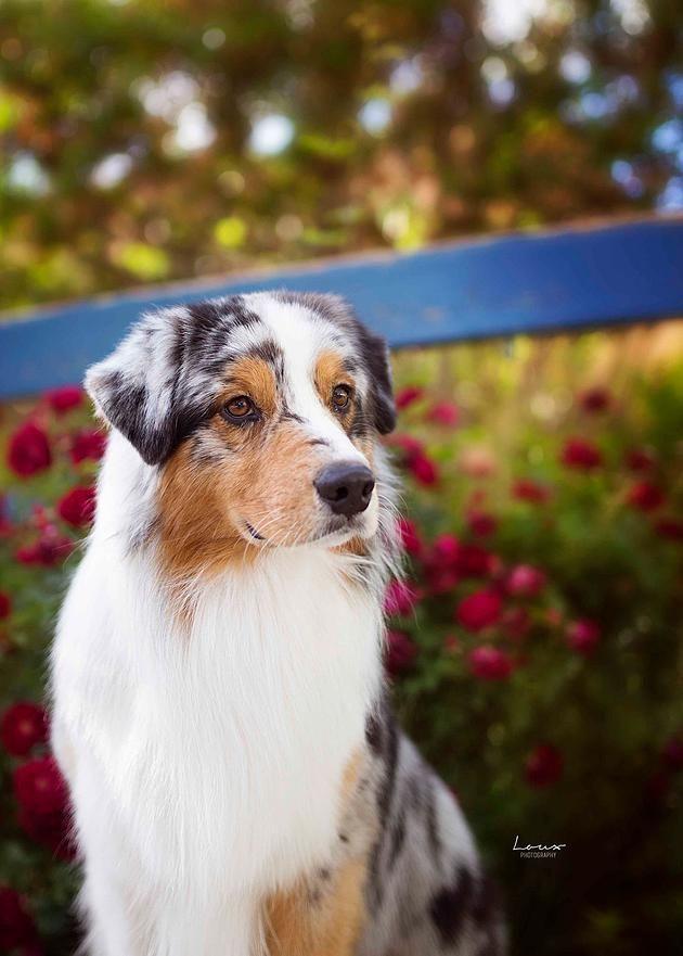 Loux Photography | Colorado & Wyoming Photographer | Show Dog Photog | Australian Shepherd