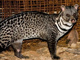 """""""With a declining population numbering fewer than 250 mature individuals fragmented into sub-populations of fewer than 50 individuals in total, the Malabar Large-Spotted Civet is one of the planet's most endangered mammals. Found in the Western Ghats, India, its favoured habitats of lowland swamps and forests have been completely removed. This forces the species to utilise previously undesirable degraded or secondary habitat and thickets in cashew plantations."""