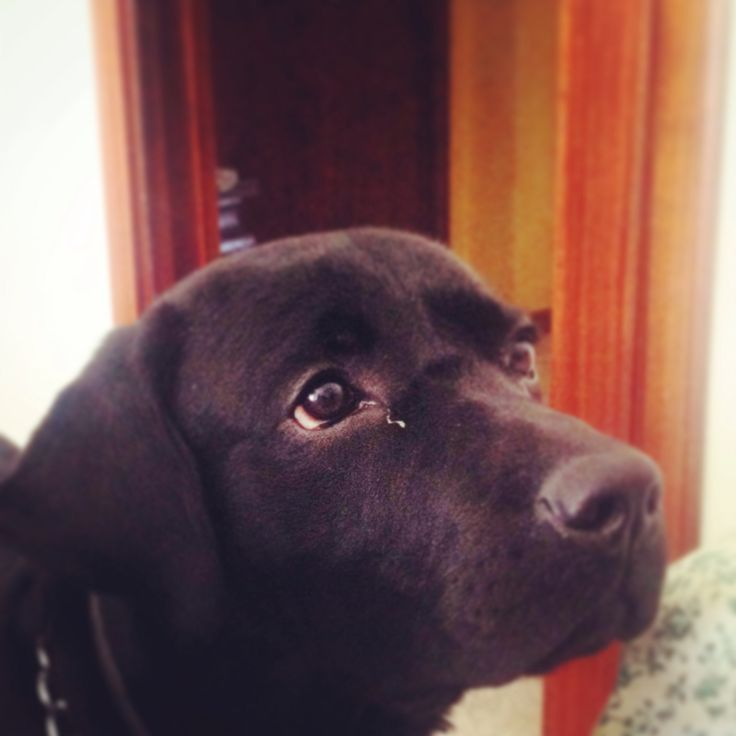 That is Attila, my 9 months old puppy of Labrador