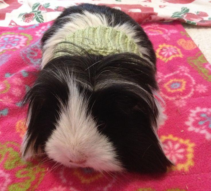 1000+ ideas about Guinea Pig Clothes on Pinterest Guinea ...