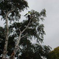 Silver birch removal