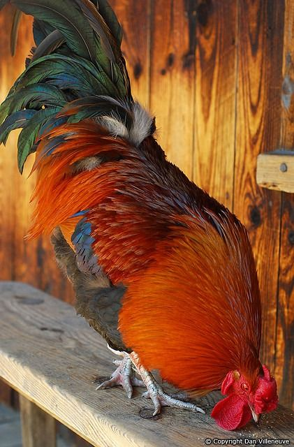 what a handsome boy  http://www.backyardchickencoops.com.au/learning-centre/