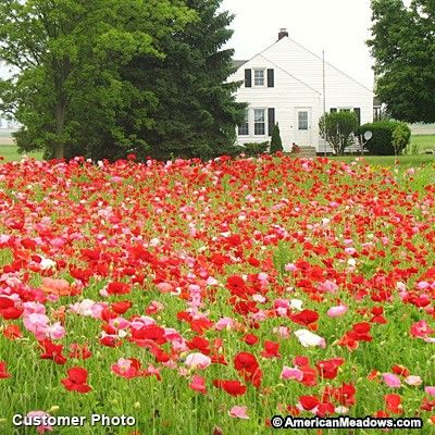 "Keep the deer away with reds, pinks, whites & doubles. All are technically ""Red Poppy"", but this mix is often called ""Shirley"" Poppies. Annual."