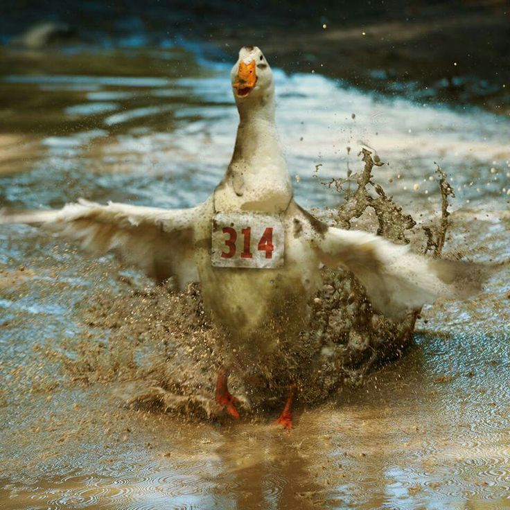 252 best aflac duck images on pinterest ducks animal for Duck run designs