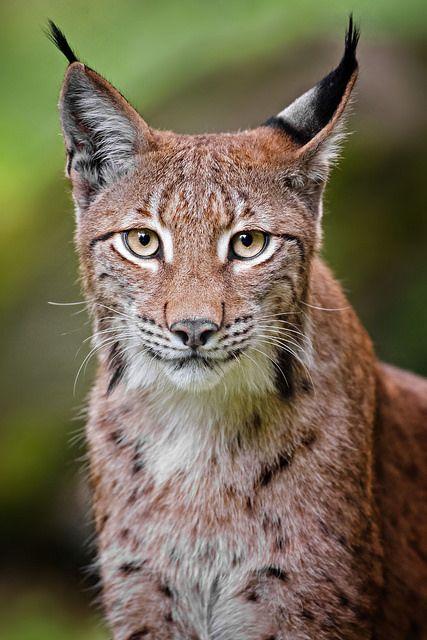 Lynx - photo by Naturfotografie - Stefan Betz, via Flickr