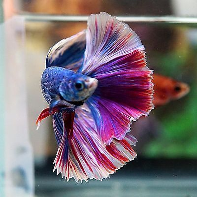 1000 ideas about colorful fish on pinterest fish for Ebay betta fish