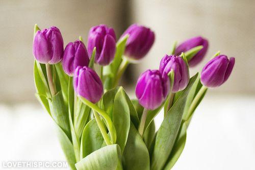 Purple tulips flower flowers purple tulips beautiful flowers flower pictures