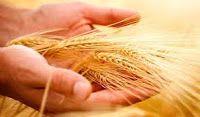 agrotikanew : ΣΙΤΑΡΙ:Ολα για την καλλιεργεια του