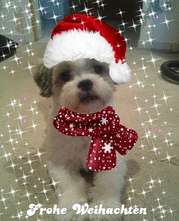 "Shi-Tzu-Malteser Mix Benji ""Ihr Hundis, oh kommet, oooh kommet doch all…"" Hundename: Benji / Rasse: Shi-Tzu-Malteser Mix      Mehr Fotos: https://magazin.dogs-2-love.com/foto/shi-tzu-malteser-mix-benji/ Foto, Hund"