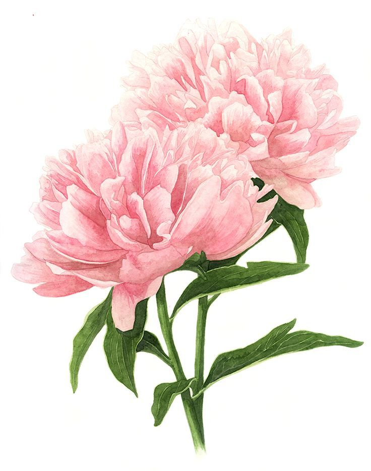 It is a picture of Priceless Pink Carnation Drawing