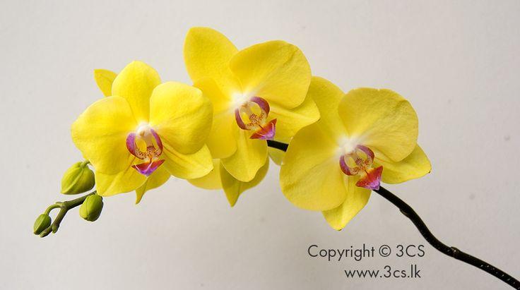 Orchids - from The Orchidist (www.theorchidist.lk) greenhouses in Waga, off Avissawella