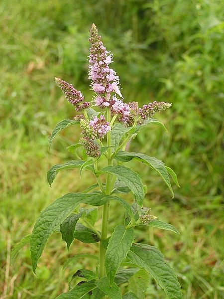 Máta je vytrvalá medonosná rostlina. Pro její mentolovou vůni se používá při přípravě koktejlů a aromatických čajů.  http://www.semena-rostliny.cz/bylinky-semena/165-rostlina-mata-peprna-semena.html