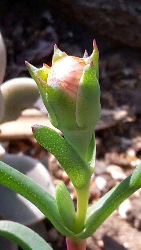 Cute little fat plant bud