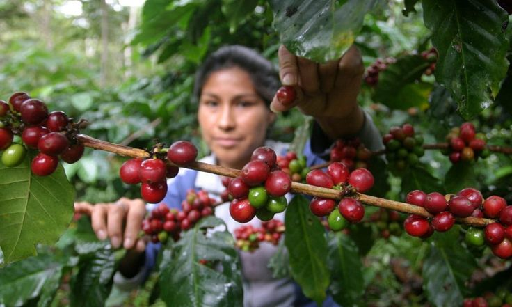 El cambio climático podría amenazar el abastecimiento mundial de café