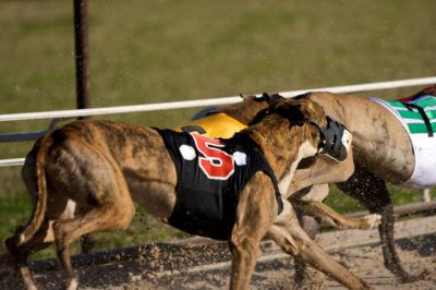 Greyhound dogs who are already abused by the cruel racing industry could soon be forcibly given cocaine to increase their performance. Demand that this inhumane and ridiculous idea be stopped.