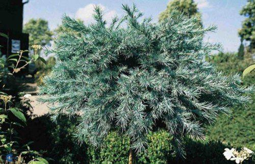 Japansk Lærk 'Blue Dwarf'. Planten bruges ofte i haver. Latinske navn: Larix kaempferi 'Blue Dwarf'.