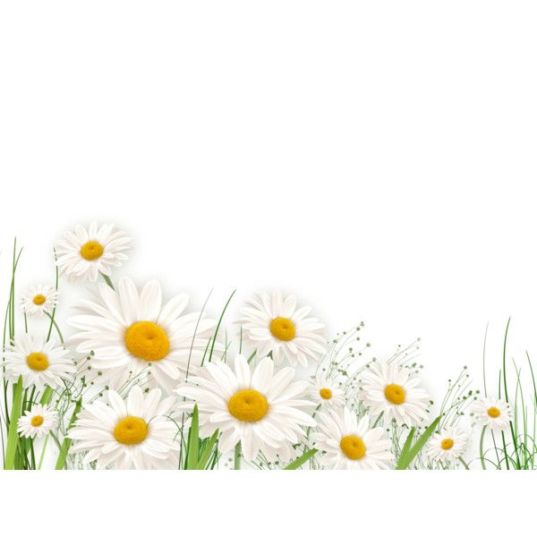 daisies.png liked on Polyvore featuring flowers, effect
