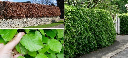 Beech Hedging (fagus sylvatica) - Hedges Direct UK