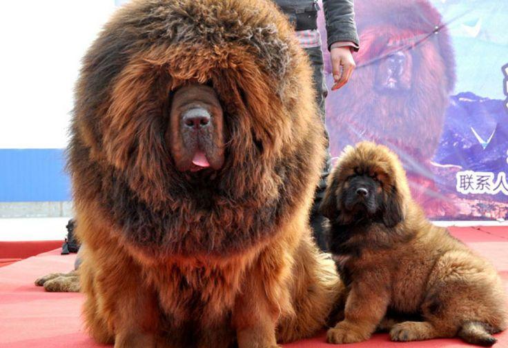 Le chien le plus cher du monde ! Il a été vendu à plus d'1 million d'euros !