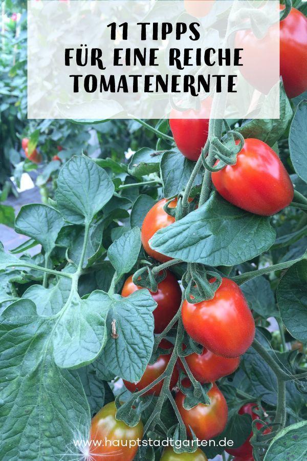 11 Tipps Zum Tomaten Anpflanzen Gartenblog Hauptstadtgarten Tomaten Garten Tomaten Gewachshaus Tomaten Pflanzen Balkon