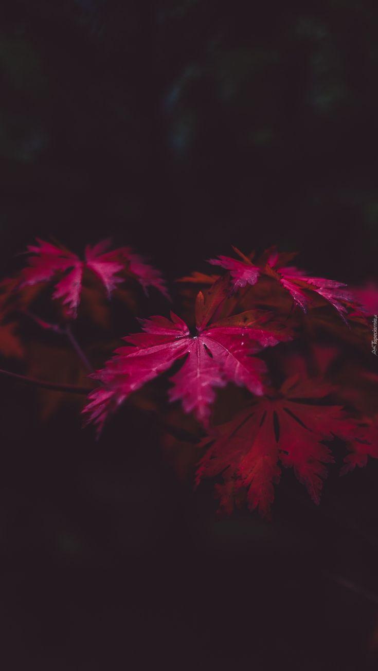 Maroon Blätter im Schatten