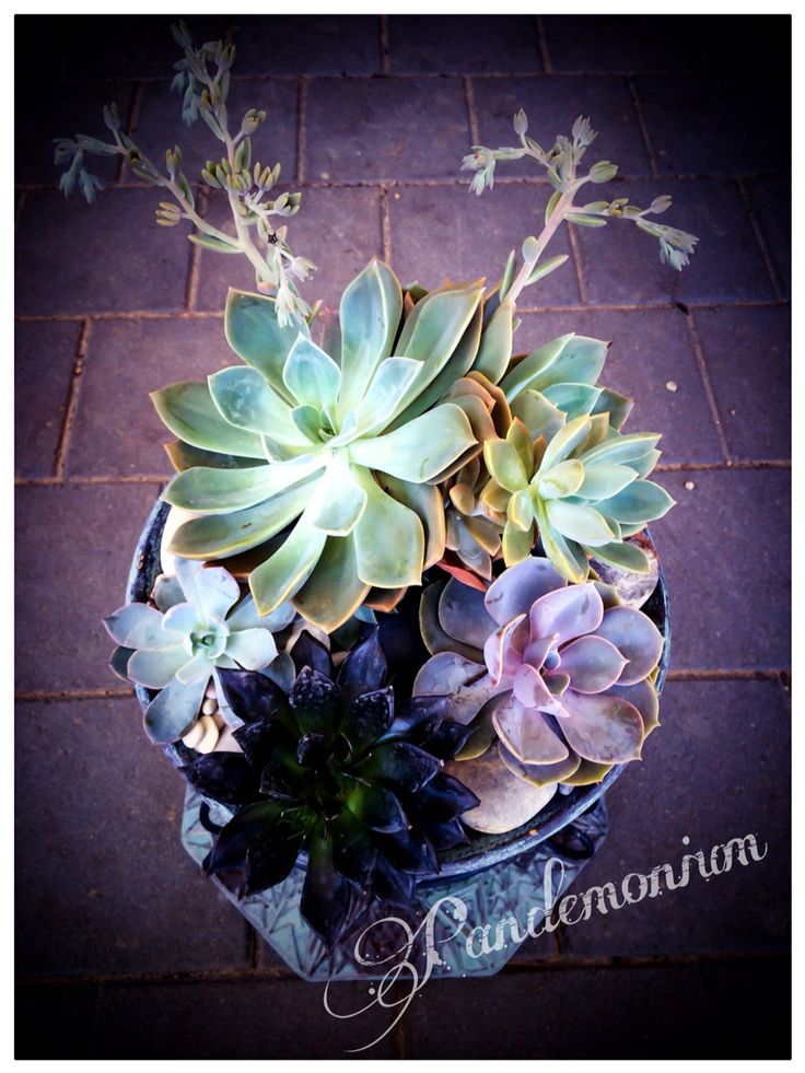 Pot full of colours, graptoveria and echeveria