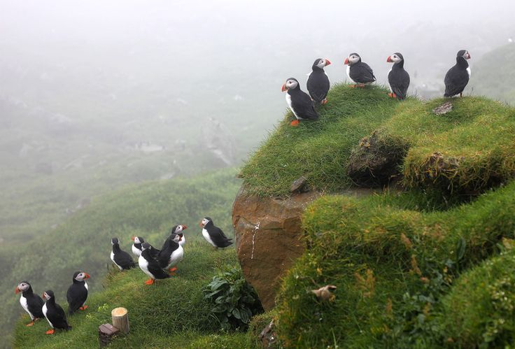 Puffin Colony, Mykines, Faroe Islands