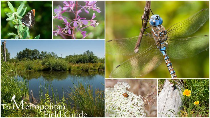 I really like this blog. Great place to find info on Urban wildlife in Seattle. This post is on the Magnuson Park wetlands.