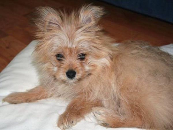 yorkie pomeranian puppies 7 best yorkiepom images on pinterest yorkie doggies and 5462