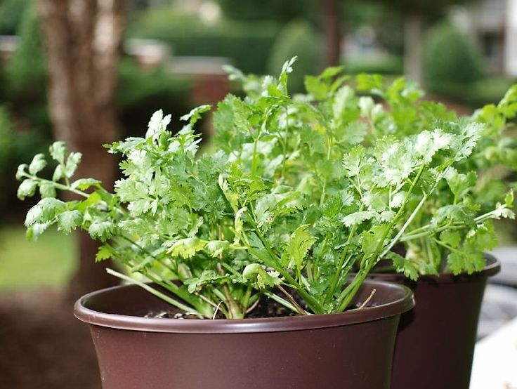 How To Grow Cilantro In A Pot | Growing Coriander In Containers ...