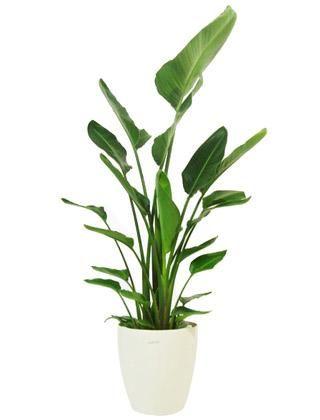 Indoor Bird of Paradise Palm Tree - Stelitzia reginae, Floor Standing Plant (Web Main)