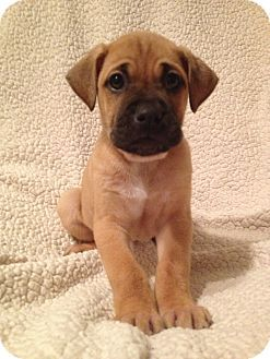 We mayyyyy be compromising on a dog breed soon...boxer/lab mix <3 how adorable?!