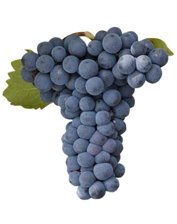 Mourvèdre - Rouge - Cépage - Vins Rhône