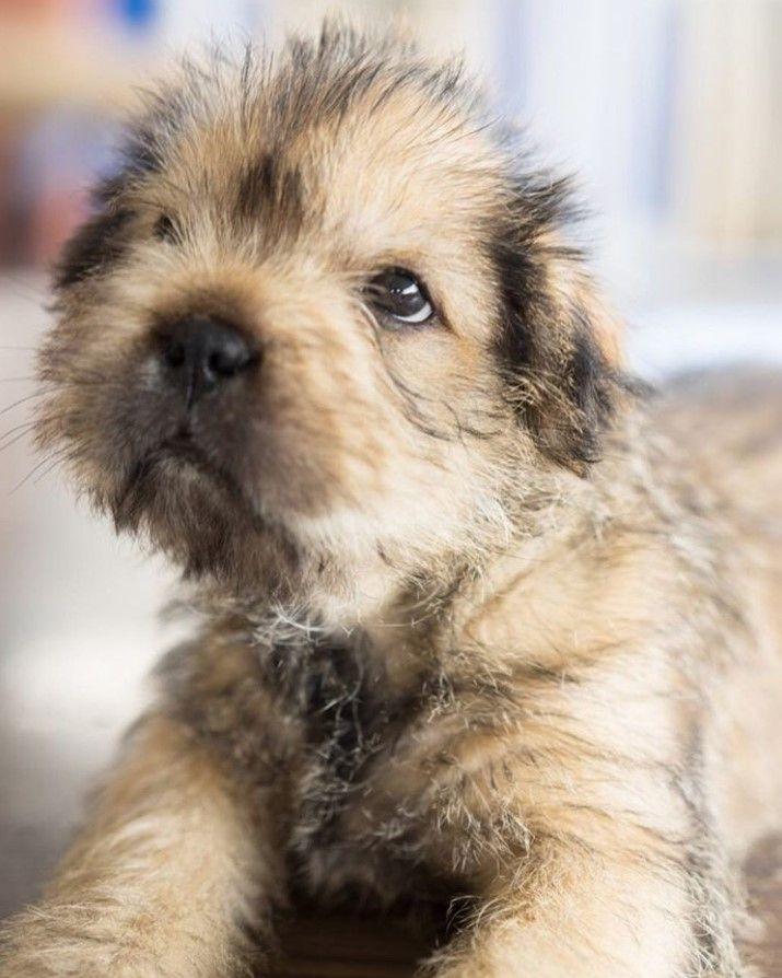 Shar Tzu Shih Tzu X Shar Pei Shih Tzu Dog Mixes Girl Dog Names