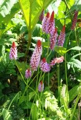 Primula vialii-Red hot poker primrose-Plants