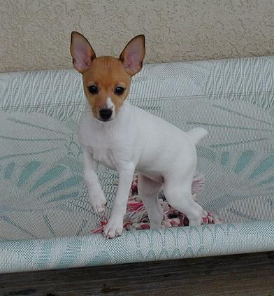 Toy Fox Terrier puppy, reminds me of when my little Indiana was a tiny boy.