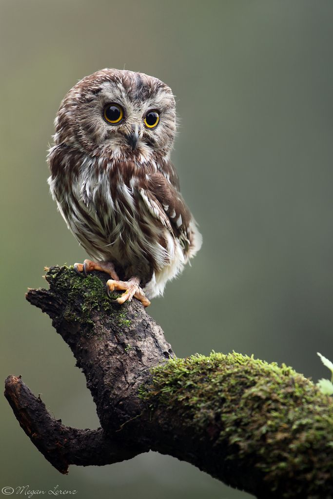 Ciao Baby by Megan Lorenz | Northern Saw Whet Owl | Flickr - Photo Sharing!