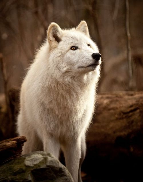 women and jewelry White Wolf   Beautiful