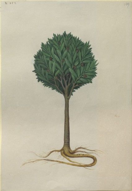 "Illustration in the ""Herbal of Benedetto Rin"", showing a Tamarind Tree (""Arbor de Tamarindis"") Caldara, c. 1876"