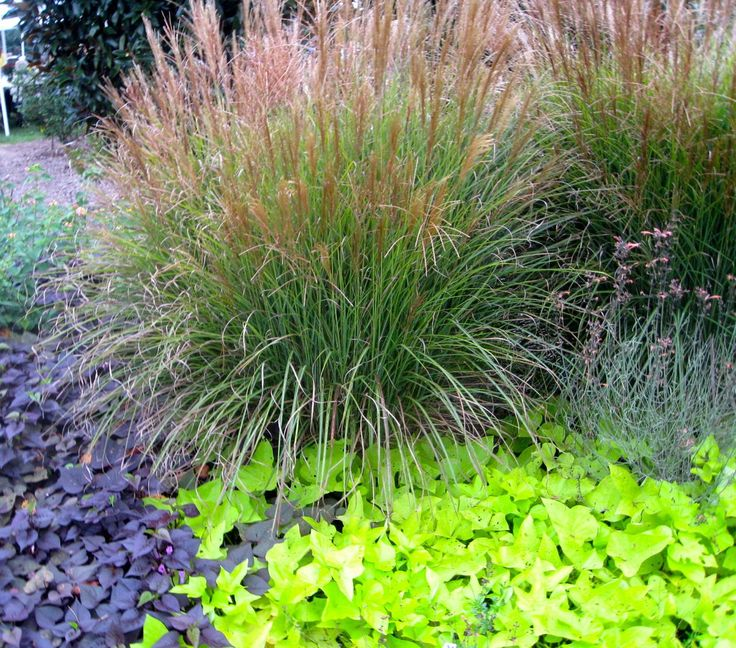 Ornamental grasses ornamental grass and sweet potato for Ornamental grass bed design