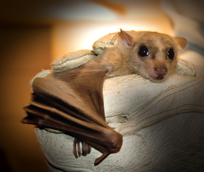 For anyone who DOESN'T think bats can be adorable...just look at dis widdle guy's face. LOOK AT IT.