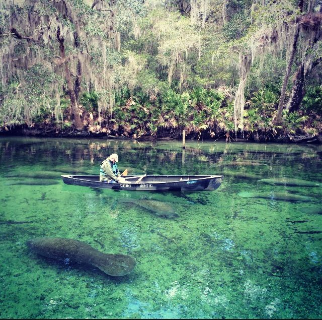Manatee at Blue Springs State Parkhttp://www.reddit.com/r/pics/comments/1w53sp/got_to_see_300_manatees_today_blue_springs_state/