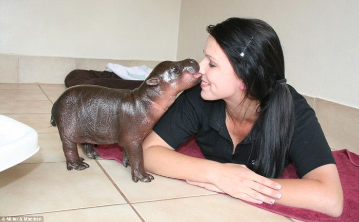 "From The Daily Mail: ""Adorable Harry the hippopotamus is no stick-in-the-mud when it comes to making friends with humans.    The six-day-old pygmy hippo calf is filling the time of his doting carers after being rejected by his mother at birth.    The 11lb baby was born last Thursday at a wildlife sanctuary in South Africa and requires round-the-clock care."""
