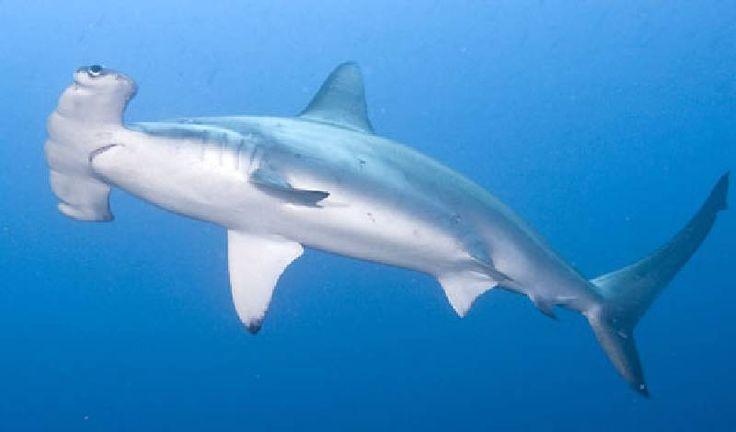 Hammerhead Shark (Hamerhaai)