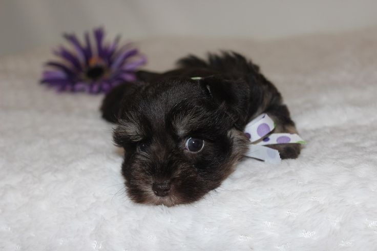 Toy, Teacup and Miniature Schnauzer Puppies For Sale - Oklahoma