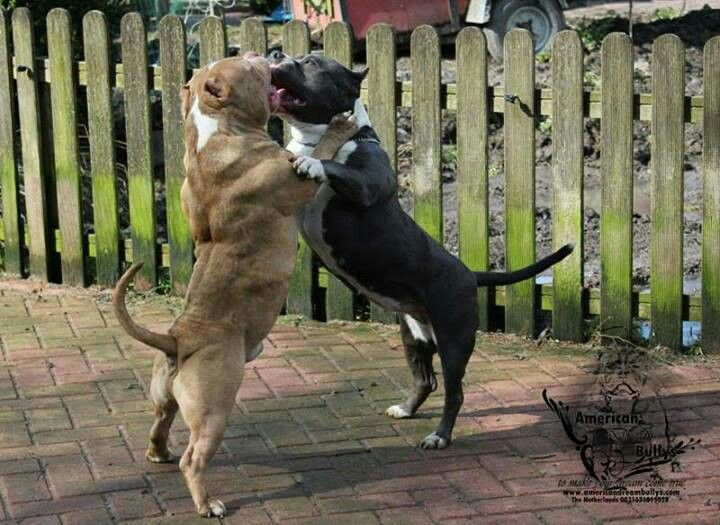 94 Best images about PİTBULL on Pinterest | American pit, Blue pits ...