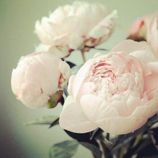 peony  작약의 꽃말은 수줍음,번영   레몬티플라워의 오늘의 꽃말입니다