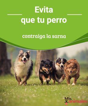 Evita que tu perro contraiga la sarna La sarna es una enfermedad que afecta a los perros. Para evitarla, en este post, compartimos algunos datos para que sepas qué debes hacer y cómo prevenirla. #enfermedad #prevenir #salud #sarna